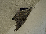 Swallows_nest_2