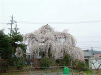 Sidaresakura1_1